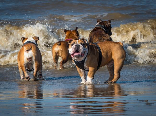 Flat-faced dogs such as bulldogs are particularly badly affected during hot weather. Photo: Vets Now