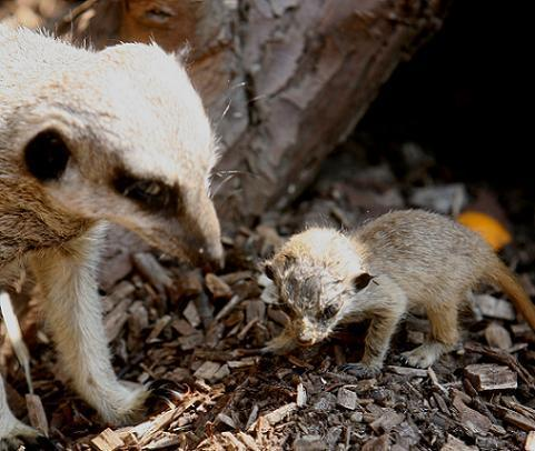A baby meerkat looking for food with an adult at Lee Valley Park Farm