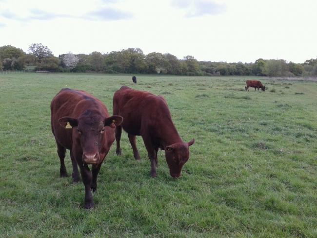 Red poles and Dexter cows arrived to Roding Valley Meadows on Thursday